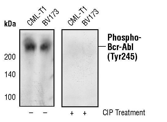 Phospho-c-Abl (Tyr245) Antibody (MA5-15098)