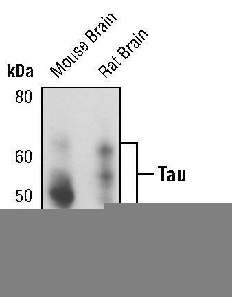 Tau Antibody (MA5-15108) in Western Blot