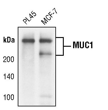MUC1 Antibody (MA5-15131) in Western Blot