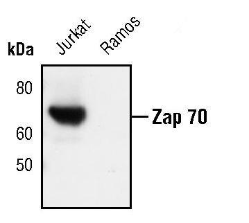 ZAP70 Antibody (MA5-15137)