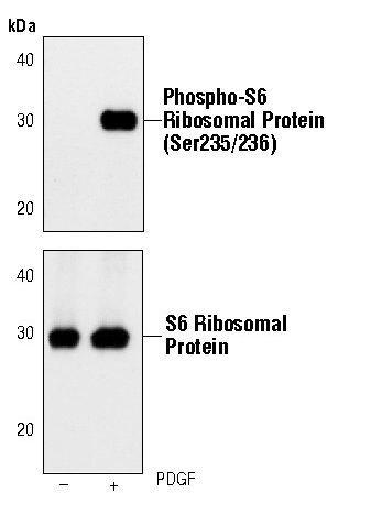 Phospho-S6 (Ser235, Ser236) Antibody (MA5-15140) in Western Blot