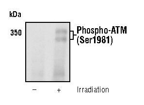 Phospho-ATM (Ser1981) Antibody (MA5-15185) in Western Blot