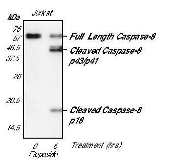 Caspase 8 Antibody (MA5-15226)