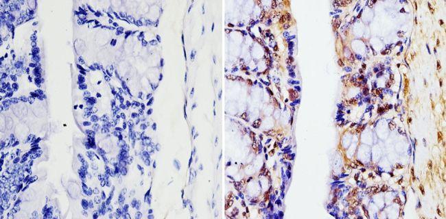 GAPDH Loading Control Monoclonal Antibody (GA1R), Biotin
