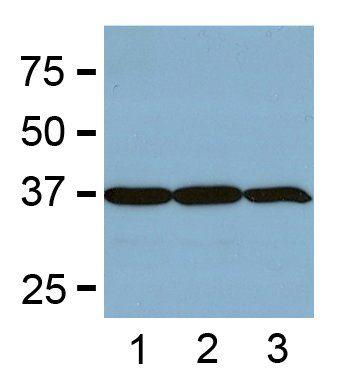 GAPDH Loading Control Monoclonal Antibody (GA1R)