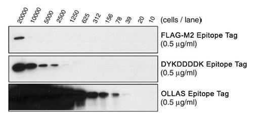 OLLAS Tag Antibody (MA5-16125) in Western Blot