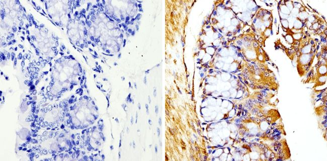 beta Tubulin Loading Control Antibody (MA5-16308-1MG) in Immunohistochemistry (Paraffin)