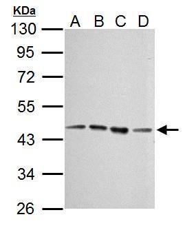 EED Antibody (MA5-16313)