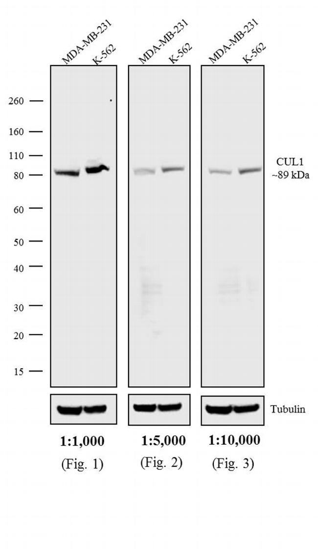 Mouse IgG1 (Heavy chain) Secondary Antibody (MA5-16786) in Western Blot