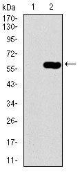 Dynactin 4 Antibody (MA5-17065) in Western Blot