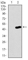 PCNA Antibody (MA5-17145) in Western Blot