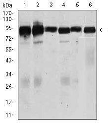 TGFBR3 Antibody (MA5-17187)