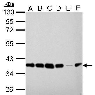 PEX19 Antibody (MA5-17266) in Western Blot