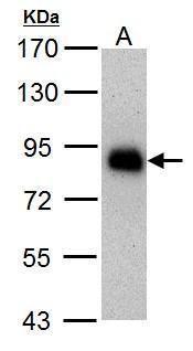 HNF1A Antibody (MA5-17267)