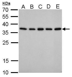 PEX19 Antibody (MA5-17281)