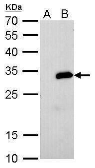 Streptavidin Antibody (MA5-17282) in Western Blot