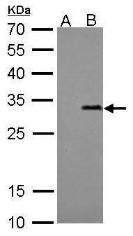 Streptavidin Antibody (MA5-17283) in Western Blot