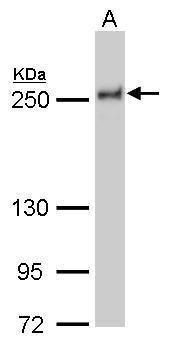 NuMA Antibody (MA5-17286)