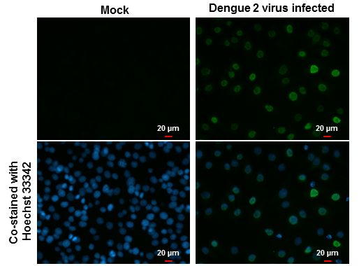 Dengue Virus Type 2 NS5 Antibody (MA5-17296)