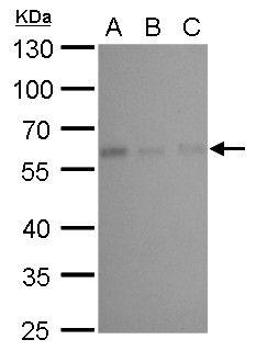 CALCOCO2 Antibody (MA5-18290)