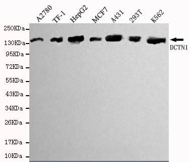 Dynactin 1 Antibody (MA5-18308)