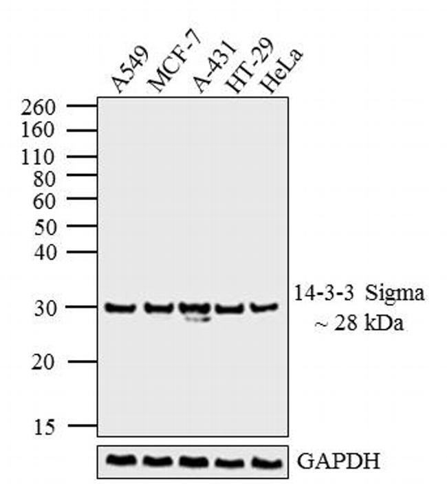 14-3-3 sigma Antibody (MA5-11663) in Western Blot