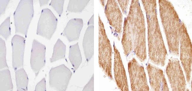 Cytochrome C Antibody (MA5-11674) in Immunohistochemistry (Paraffin)