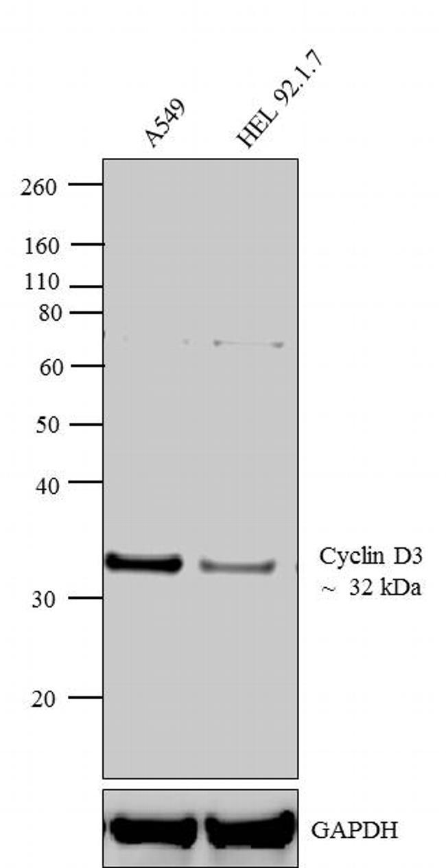 Cyclin D3 Antibody (MA5-12717) in Western Blot