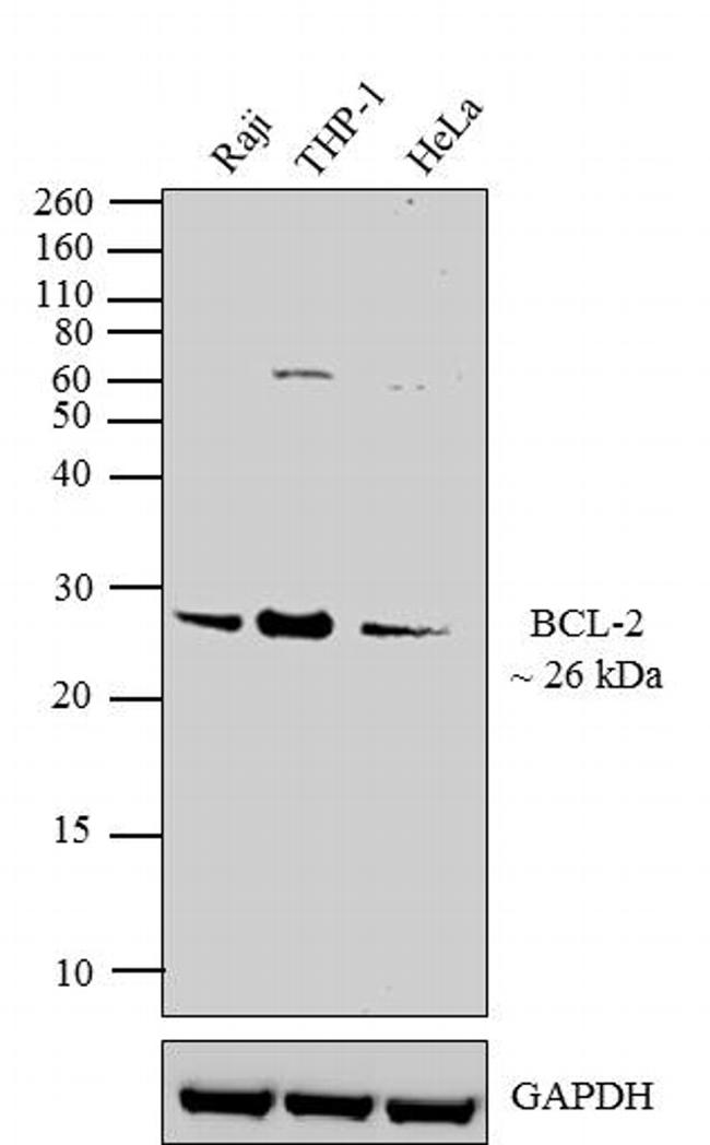 Bcl-2 Antibody (MA5-13666) in Western Blot