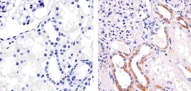 Perlecan Antibody (MA5-14641)