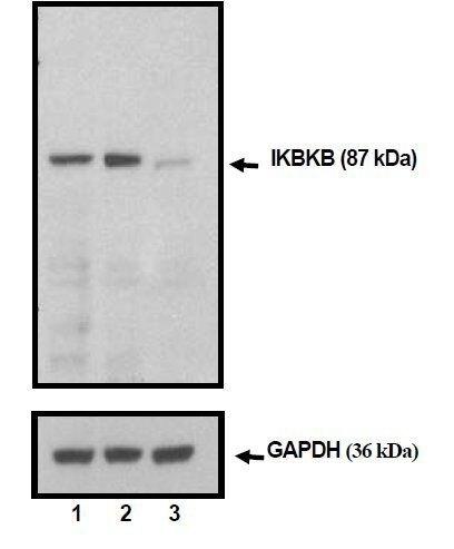 IKK beta Antibody (MA5-15080)