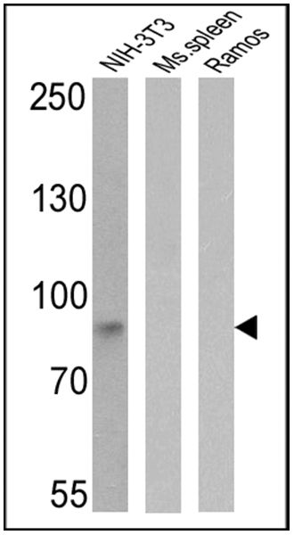 ICAM-1 Antibody (MA5405) in Western Blot