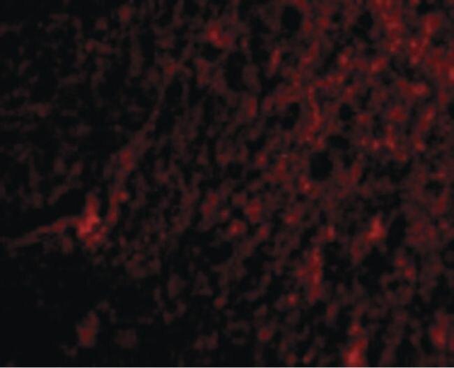 ARMET Antibody (PA5-20432) in Immunofluorescence