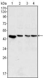 MEK2 Antibody (MA5-15600) in Western Blot