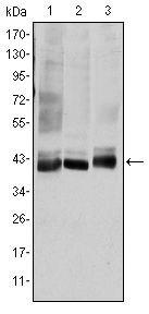 SEK1 Antibody (MA5-15811) in Western Blot