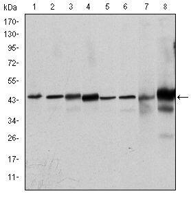 ERK1 Antibody (MA5-15896) in Western Blot