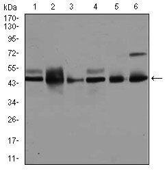 JNK1 Antibody (MA5-17117) in Western Blot