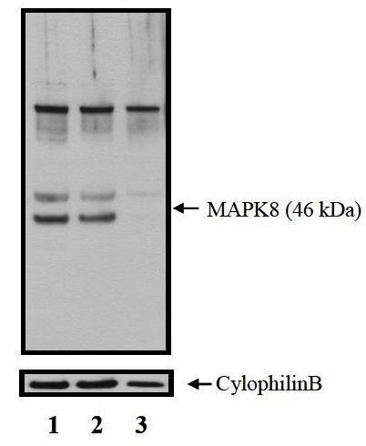 p38 MAPK alpha Antibody (MA5-15116) in Western Blot