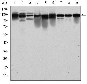 MCM2 Antibody (MA5-15895) in Western Blot
