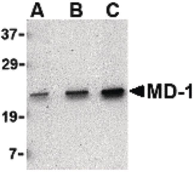MD1 Antibody (PA5-20253) in Western Blot