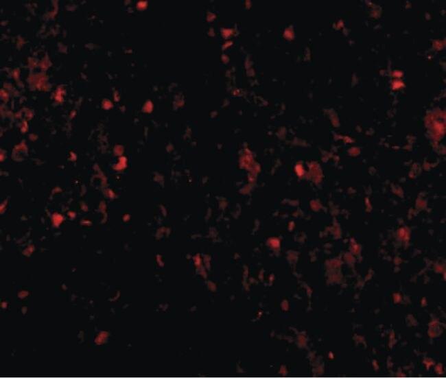 MD-2 Antibody (MA5-15765) in Immunofluorescence