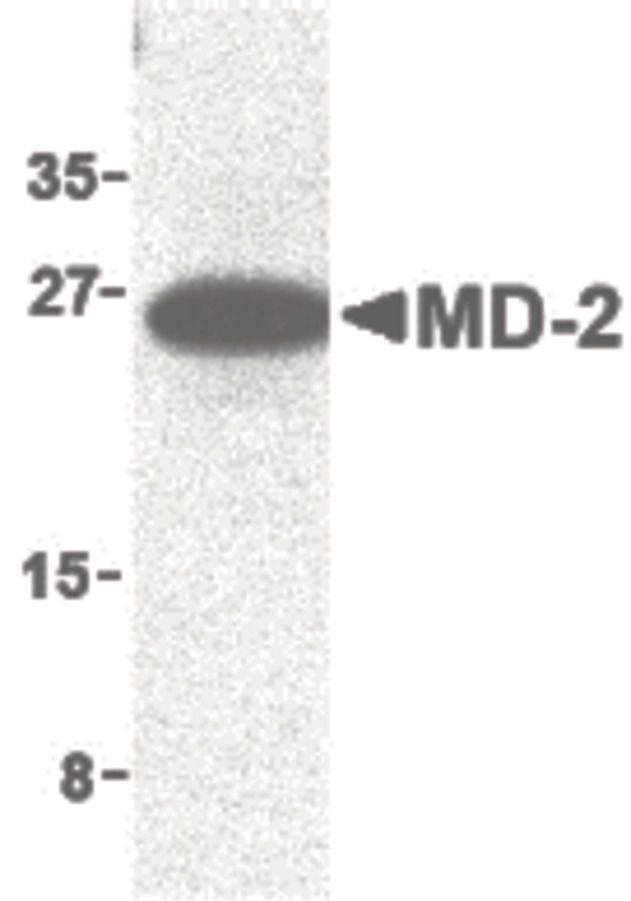 LY96 Antibody (PA5-20058) in Western Blot