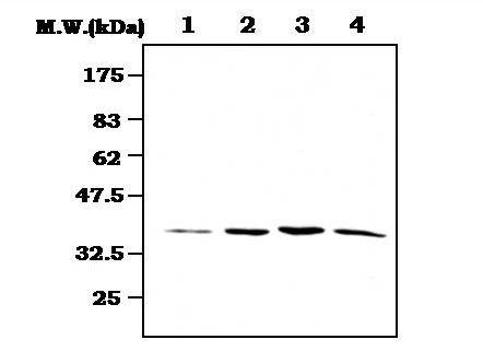 MEK3 Antibody (MA5-17216) in Western Blot