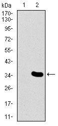 MESP2 Antibody (MA5-17121)