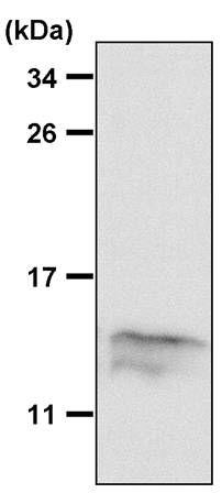 MIF Antibody (PA5-27343) in Western Blot