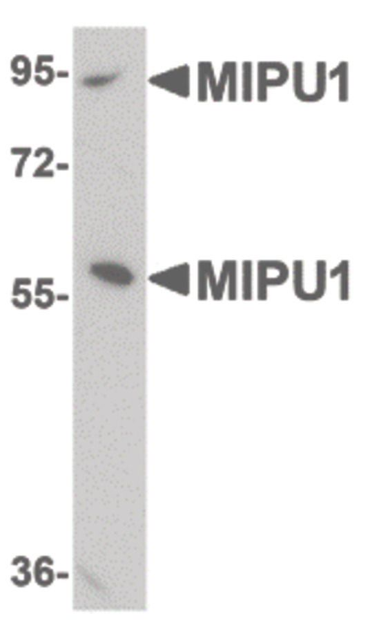 ZNF667 Antibody (PA5-20769) in Western Blot