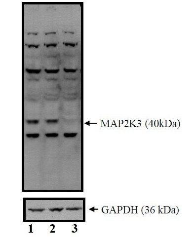 MEK3 Antibody (PA5-17480)