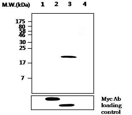 MKP2 Antibody (MA5-17225) in Western Blot