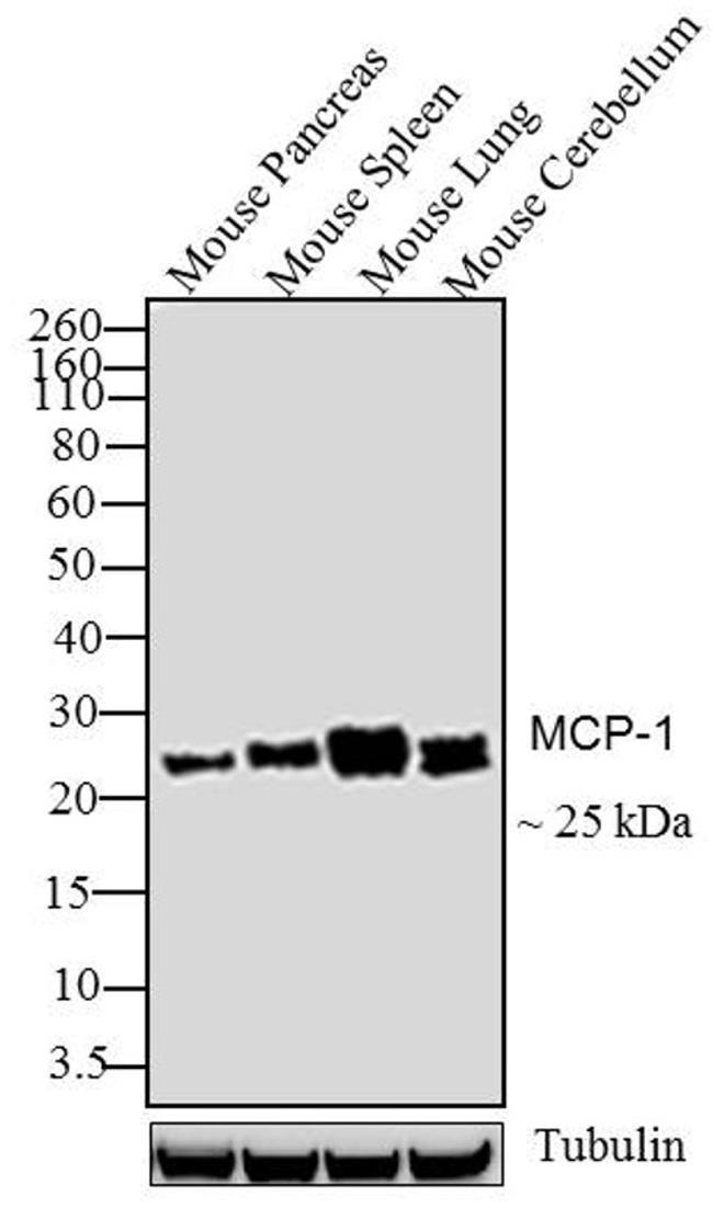 MCP-1 Antibody (MMCP1I) in Western Blot