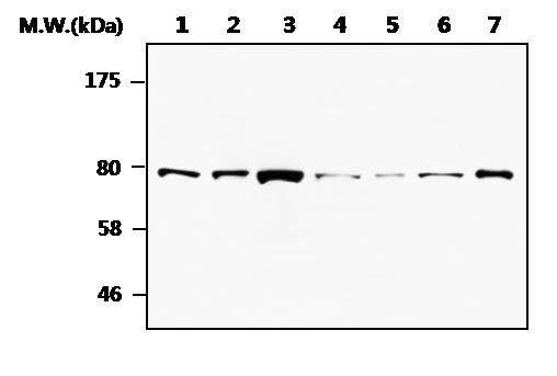 MRE11 Antibody (MA5-17261)
